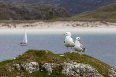 Herring gulls, Siaram Island, Lewis