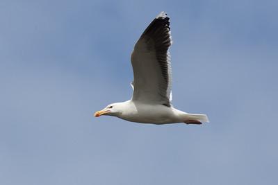 Lesser black-backed gull, Lewis