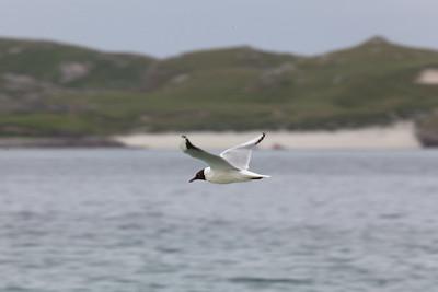 Black-headed gull, Bhaltos, Lewis
