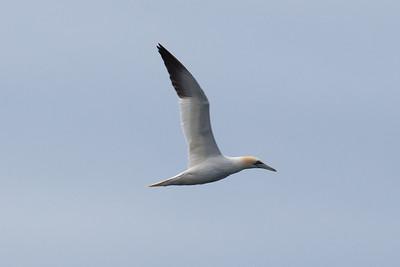 Gannet, Isle of Lewis