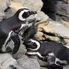 More Penguins...