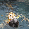 This is a very cute Sea Otter having a play with some seaweed