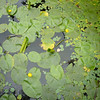 June 2011. Portmeirion, Gwynedd, Wales. Lilies on the pond in the oriental garden.
