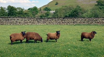 Four Brown Sheep