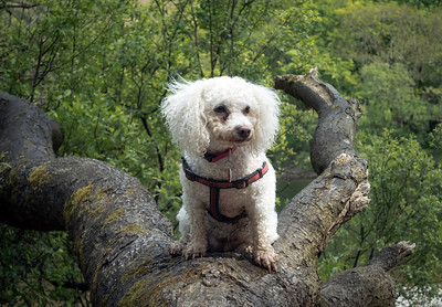 Who Says Dogs Can't Climb Trees?