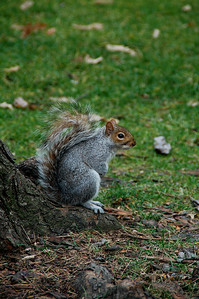 Squirrel posing in Central Park