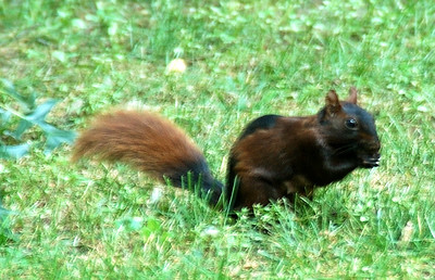 Brown and Black squirrel in Central Park