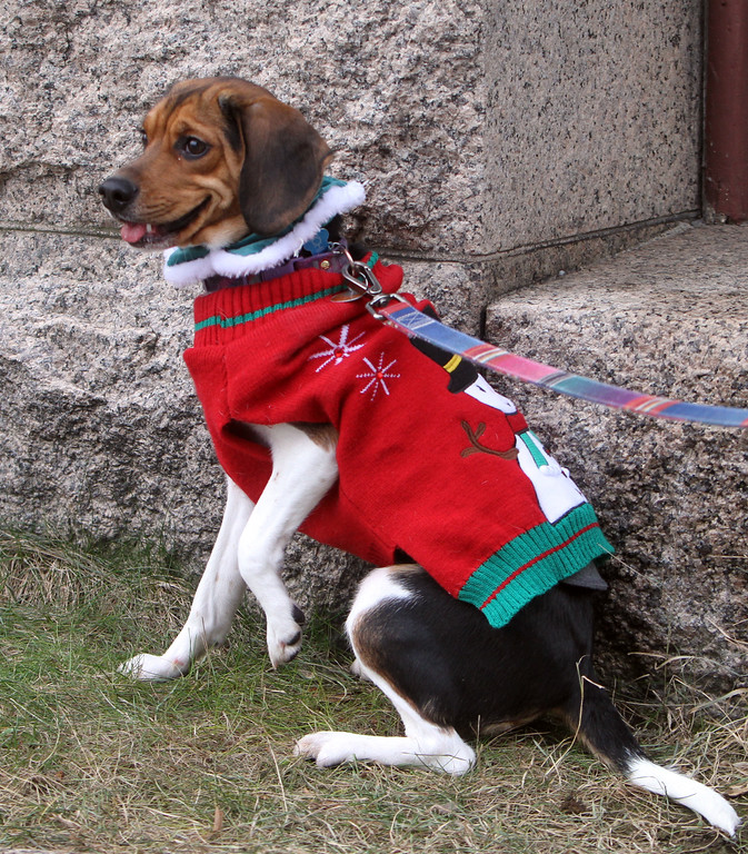 . Andrea Czik of Lowell\'s rescue beagle, Chloe, who was dressed up for Christmas, outside the Pollard Memorial Library. (SUN/Julia Malakie)
