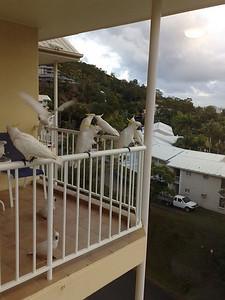 20090621_0714_503 Plenty of galahs visited our Mackay hotel-room balcony.