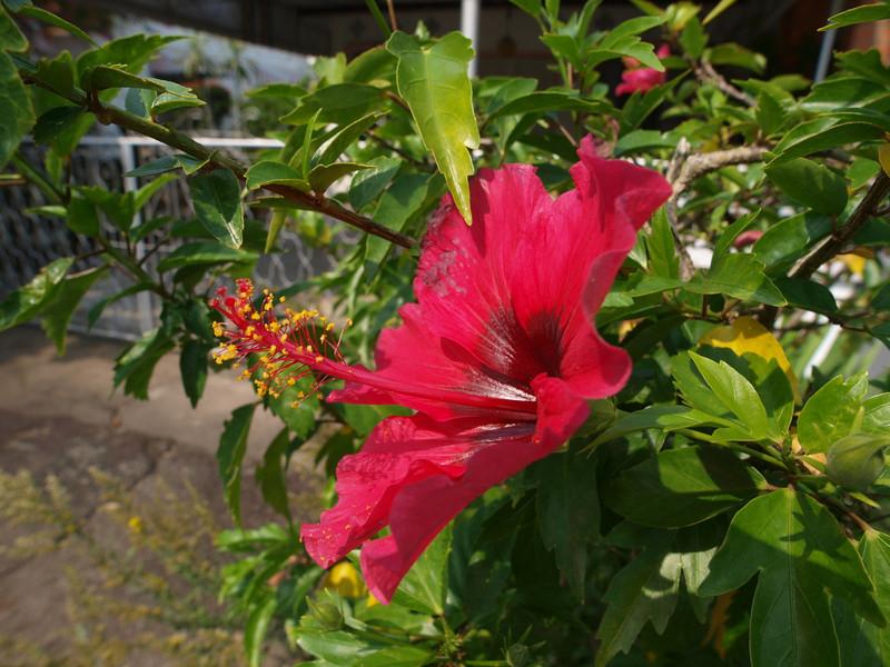 Hibiscus Malacca