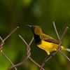 Sunbird ? olive-backed male (Nectarinia jugularis)