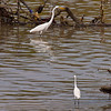 Little and Great Egrets