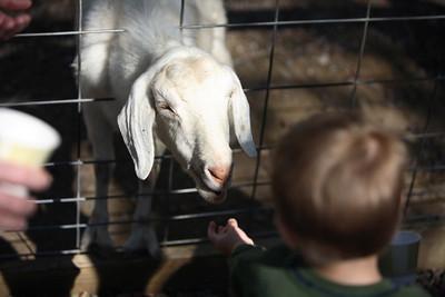 Joshua feeds the goat.