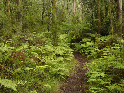 20060716_2175 Beauty Spot walking track, Marysville. The track follows a stream and is dominated by ferny glades. The Keppel tracks starts quite close to the Beauty Spot track, and goes all the way to Steavenson's falls.