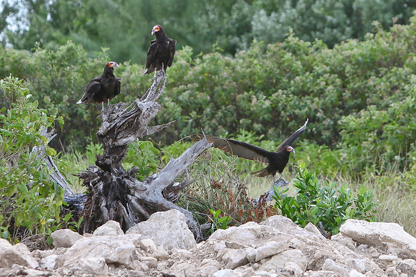 Lesser Yellow - Headed Vulture (cathartes burrovianus) Riviera  2010-2-2