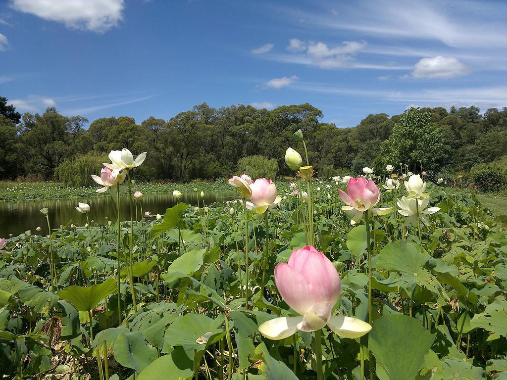20120105_1445_136 Blue Lotus Gardens (Yarra Junction)