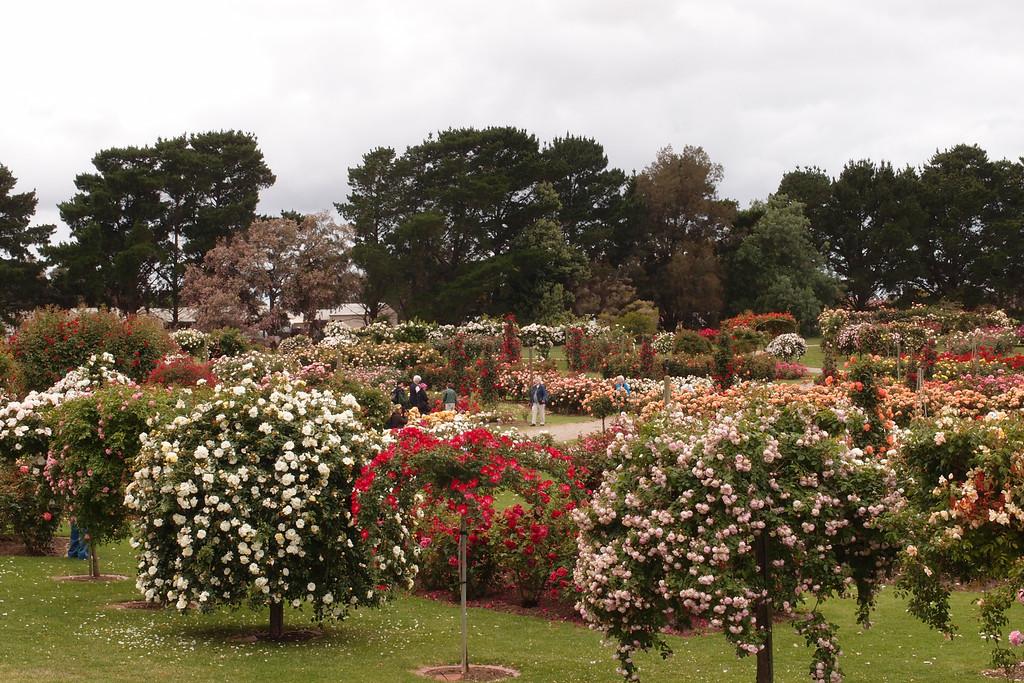 20121117_0942_7159 Werribee, State Rose Garden