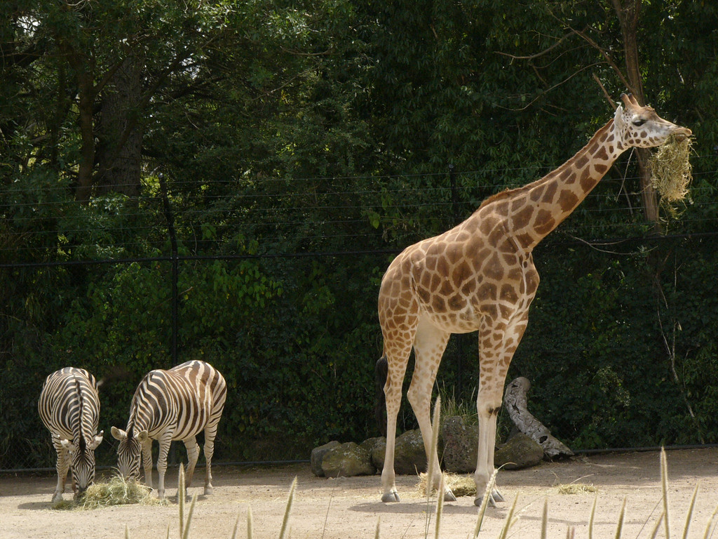 20051226_1101_1711 Melbourne Zoo giraffe and zebras (1711)