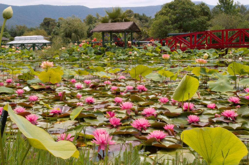20090110_2449 Blue Lotus Water Gardens, Yarra Junction.