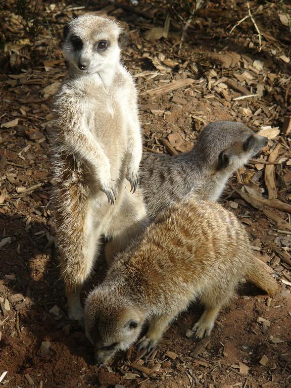 20051226_0815_1677 Melbourne Zoo meerkat DMC_FZ10 (1677)