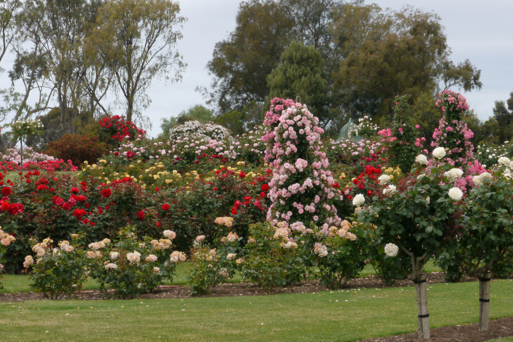 20121117_1023_4813 State Rose Garden, Werribee