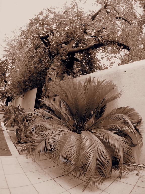 20150110_1239_0925 mirror bush and sago cycad