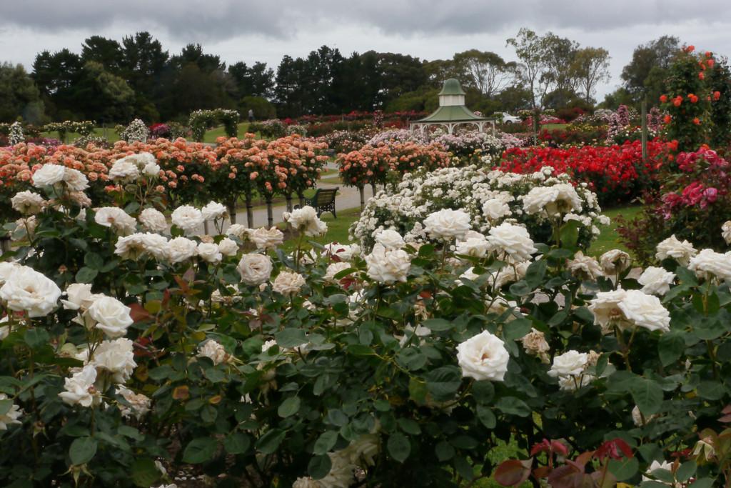 20121117_0949_4784 Werribee Rose Garden