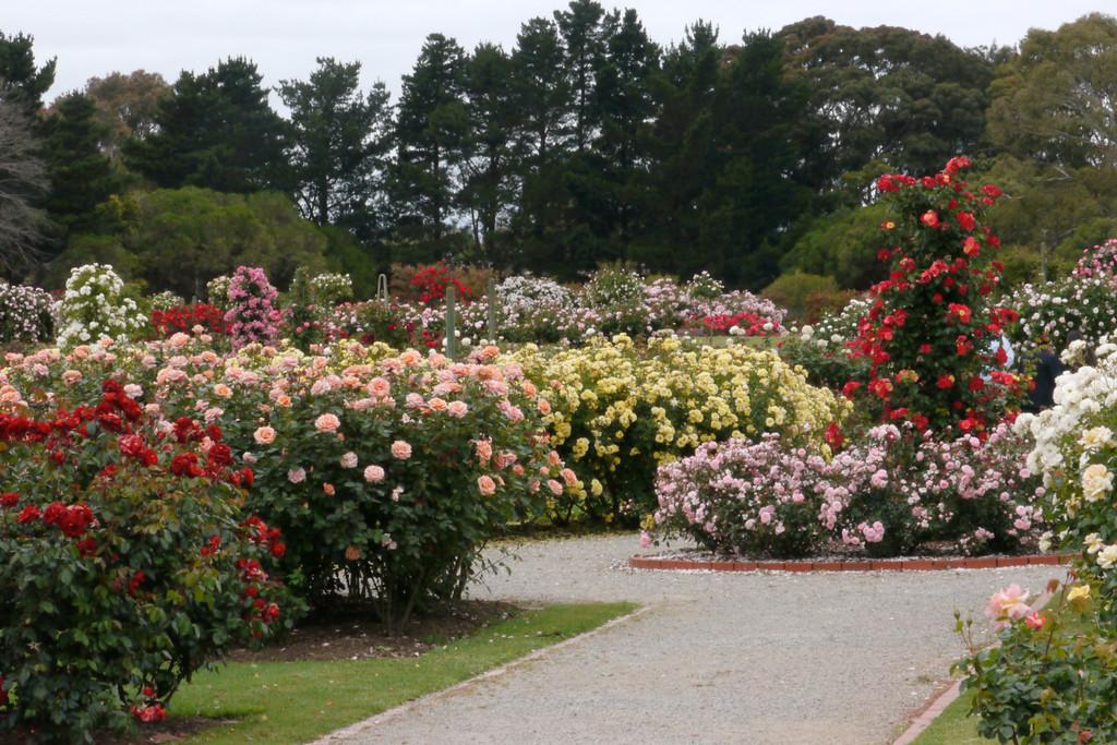20121117_1011_4802 State Rose Garden, Werribee