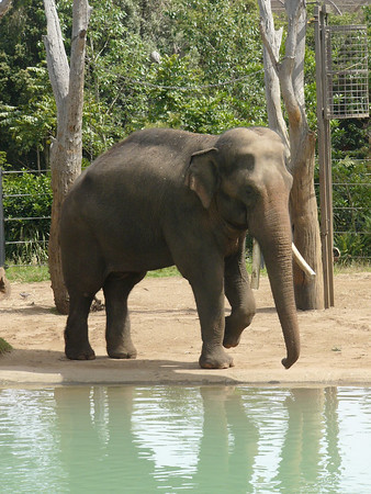 20051226_0949_1697 Melbourne Zoo elephant (1697)