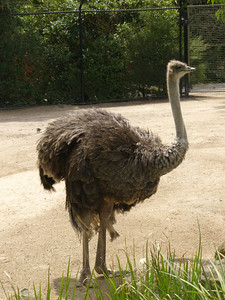20051226_1101_1713 Melbourne Zoo ostrich (1713)