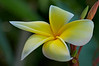 Frangipangi Flower (AKA Plumeria)<br /> Lee & Erin have an assortment of pink, yellow & white ones in their yard