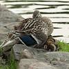 IMG_1526_Ducks