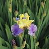 IMG_1387-Iris