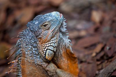 Green Iguana (Iguana iguana) Mayan Riviera 2010-6