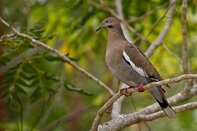 White - Winged Dove (Zenaida asiatica) Mayan Riviera 2010-13