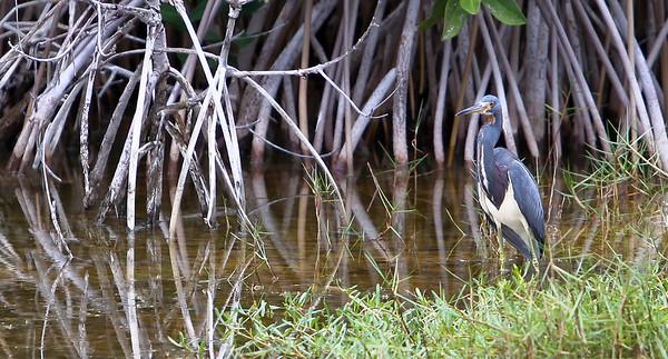 Tricolored Heron (Egretta tricolor) Mayan Riviera 2010-23