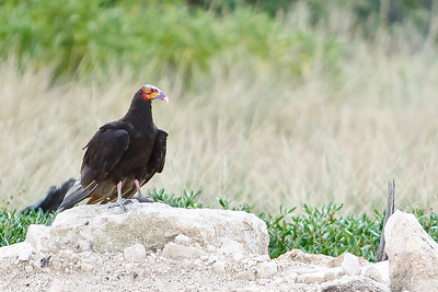 Lesser Yellow - Headed Vulture (cathartes burrovianus)  2010-24