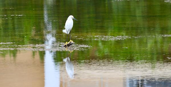 Snowy Egret (Egretta thula) Mayan Riviera 2010-22