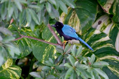 San Blass Jay (Cissilopha sanblasiana cyanocorax sanblasianus) Mayan Riviera 2010-18