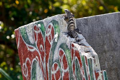Spiny - tailed Black Iguana (Ctenosaura similis) Riviera 2010-2