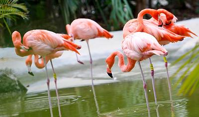 American (Greater) Flamingo (Phoenicopterus ruber) Mayan Riviera 2010-15