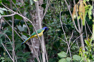 Green Jay  (Cyanocorax yncas) Mayan Riviera 2010-21