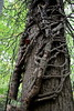 Monticello - Tree Trunk with Vine Roots 03