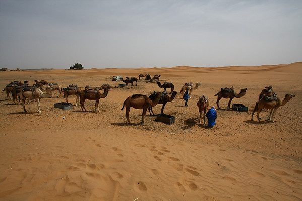 Dromedaries getting ready for the afternoon trip in the dunes.