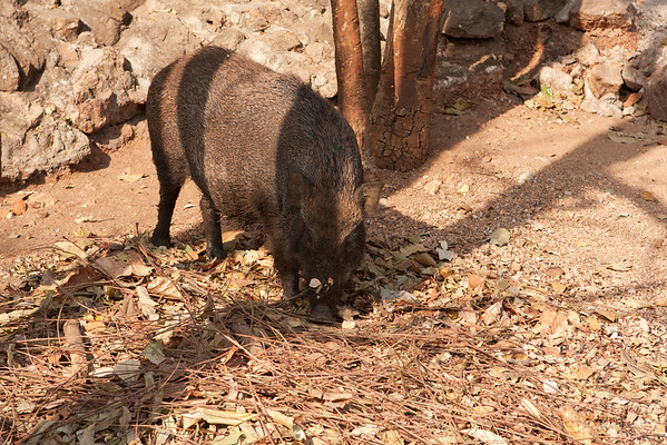 Free peaceful boar.