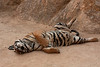 Tigers are shown to the public in the afternoon when they are not active.