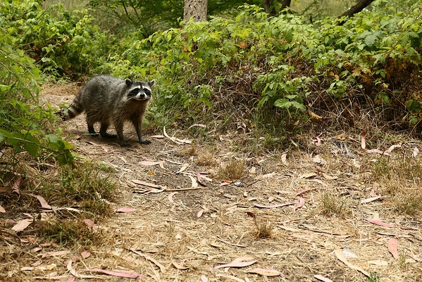 The first raccoon I ever saw standing a few meters from me.