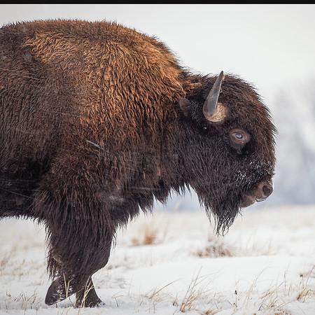 Snow Bison