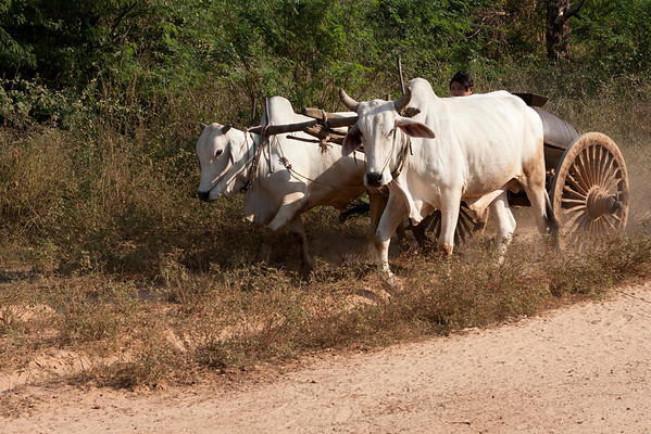 All agricultural work is done with ox carts.