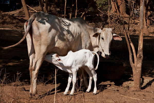 The cows have milk only for the calves. There are some cows imported from Holland but very little people can afford them.